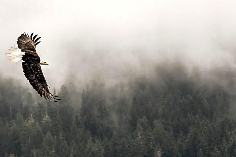 West Coast Wildlife: The Winter Eagle Gathering At Brackendale