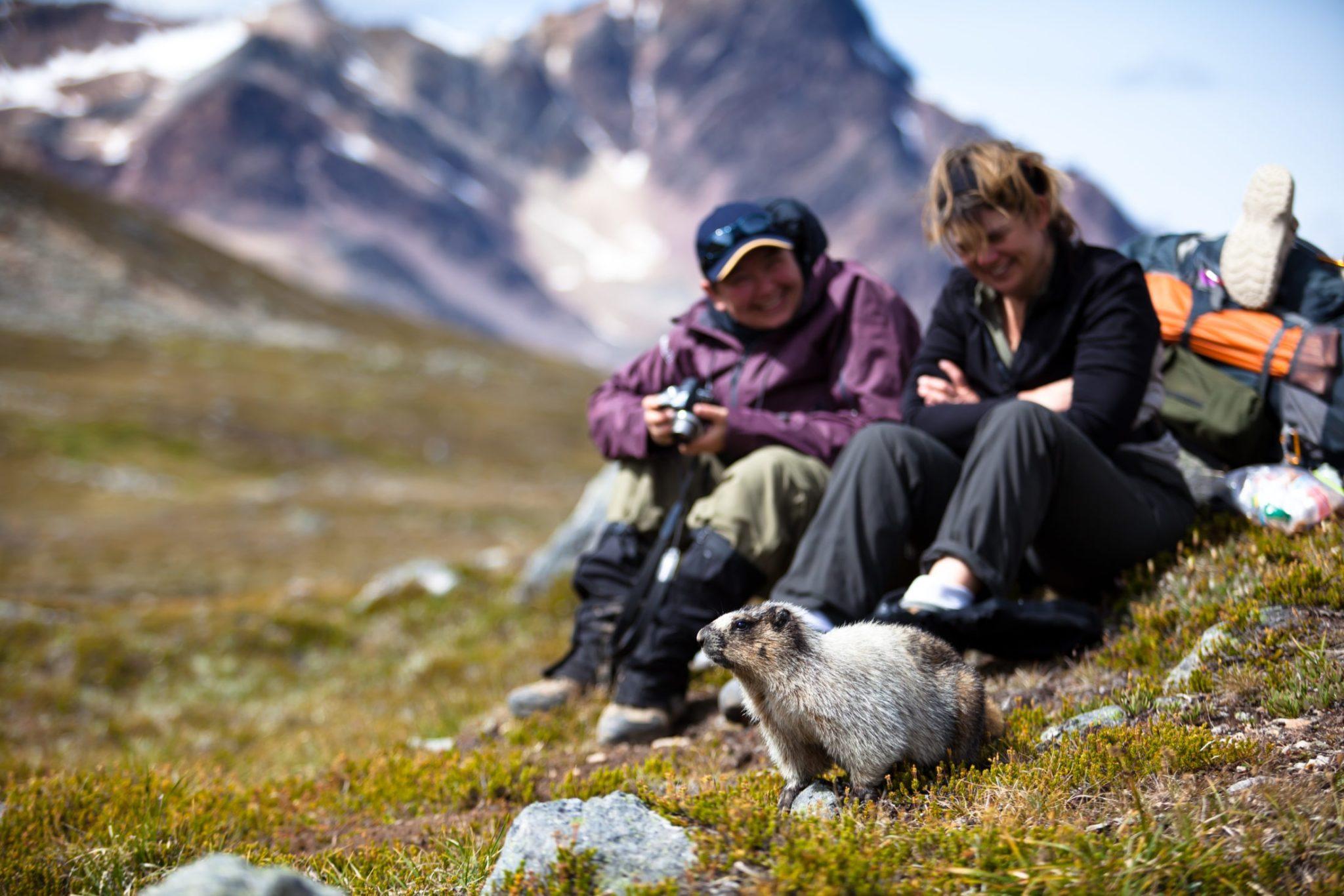 A Marmot And Hikers Near Mt Brazeau Near Jasper